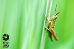 British photography awards macro winner 2017 , Grasshopper