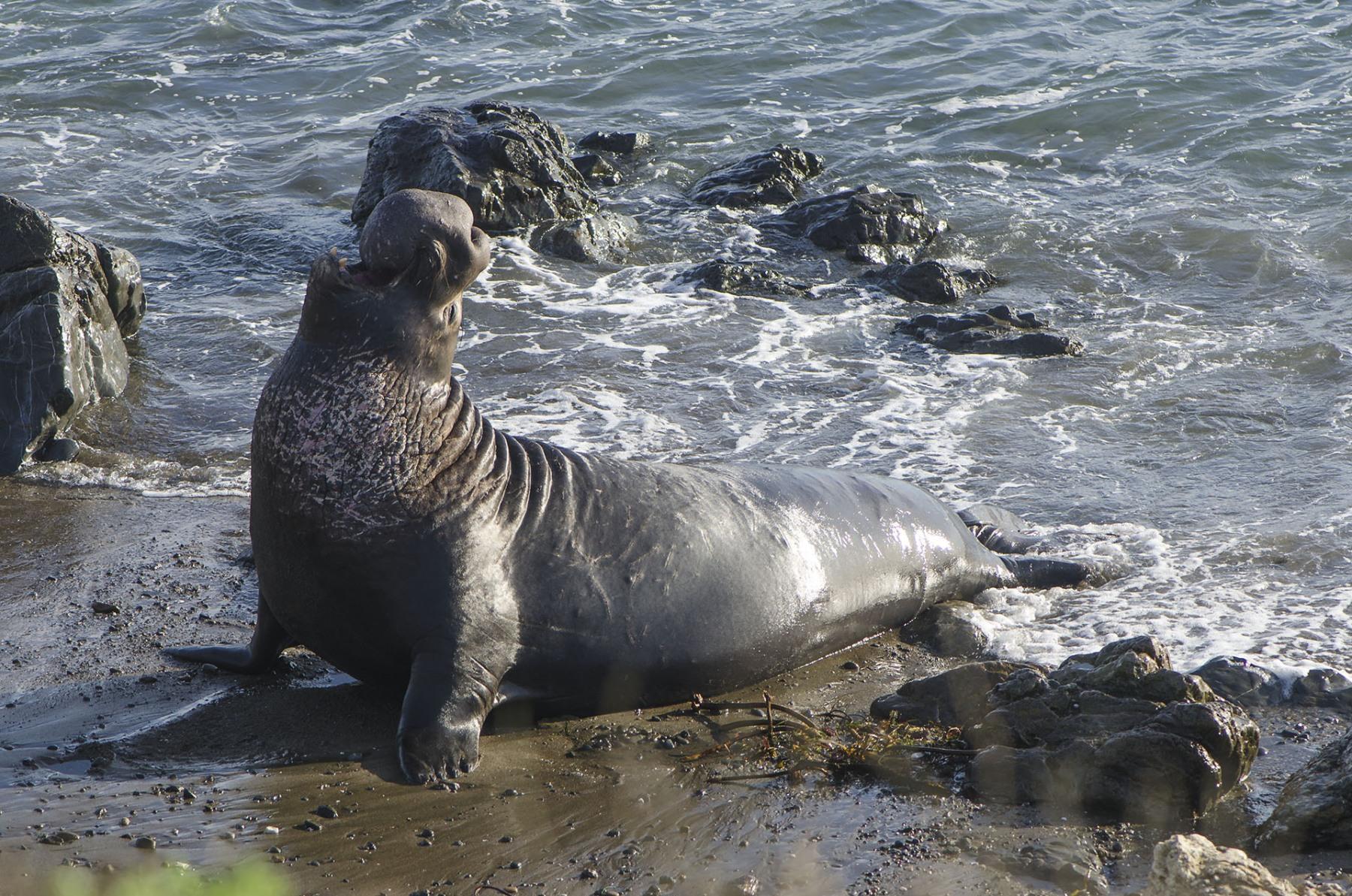 Elephant-Seal-Male