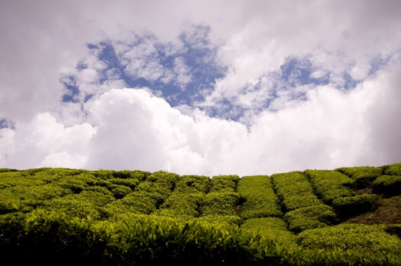 Tea Fields, Cameron Highlands, Malaysia