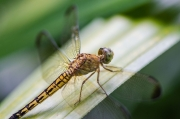 Indonesian Yellow Dragonfly