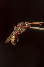 Nomad Bee (Nomada flava)