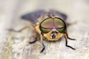 Horse fly (tabanus sp)