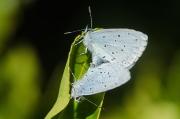 Small Blue Butterflies (Cupido minimus)