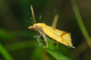 Yellow micro moth