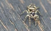 Zebra jumping spider (Salticus scenicus)