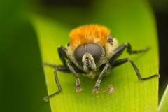 Narccisis fly (Merodon equestris)