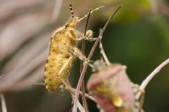 Sloe Bug (Dolycorus baccarum)