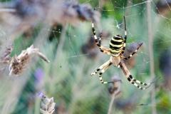 Ibiza Spider