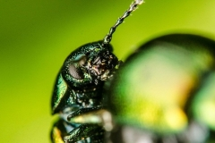 Green Dock Beetle Macro