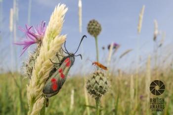 Six Spot Burnett Moth and Soldier Beetle