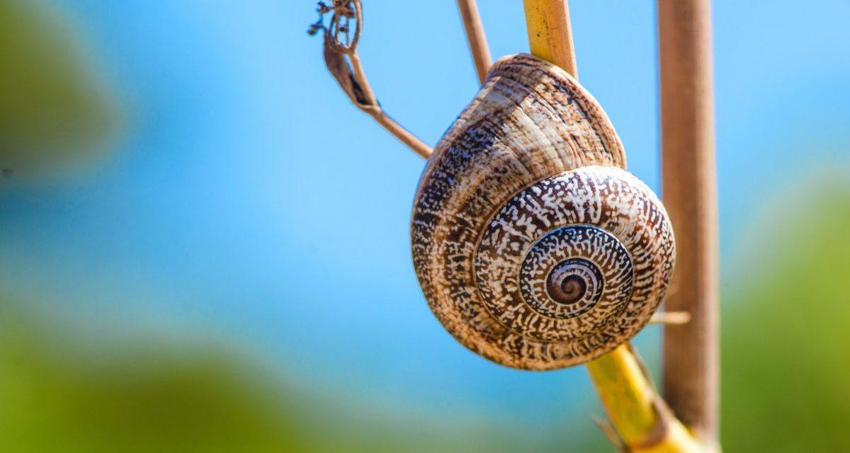 Ibiza snail