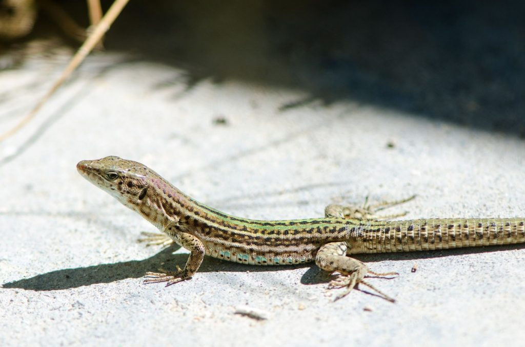 Ibiza Wall Lizards