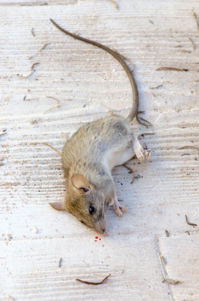 Ibiza dead rat