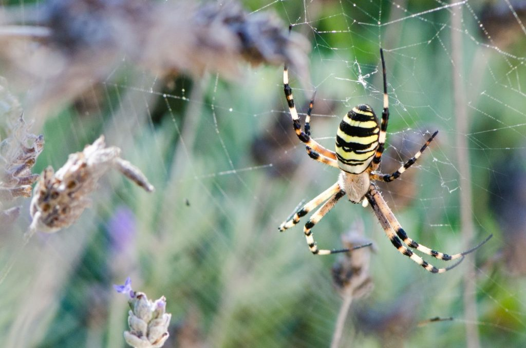 Ibiza female wasp spider