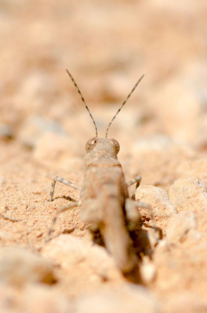 Ibiza Grasshopper