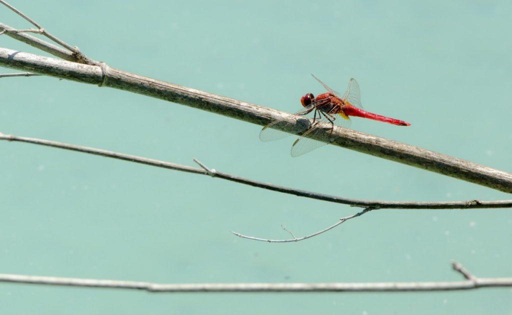 Ibiza Dragonfly